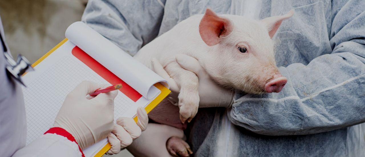 La carne de cerdo ha mejorado su calidad gracias a la investigación en alimentación animal